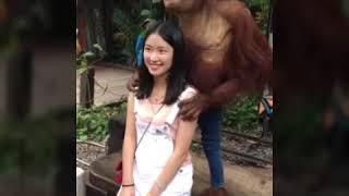 vuclip Si monyet naik sex nya sama cewek cantik