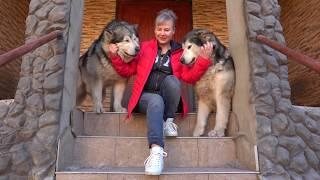 💝Огромные Аляскинские Маламуты Норис и Шаня. Huge Alaskan Malamutes.