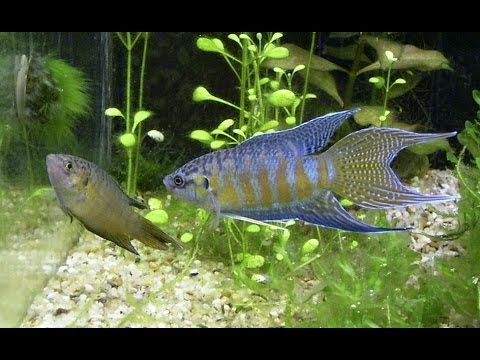 Species Profile #2: The Paradise Fish (Macropodus Opercularis)