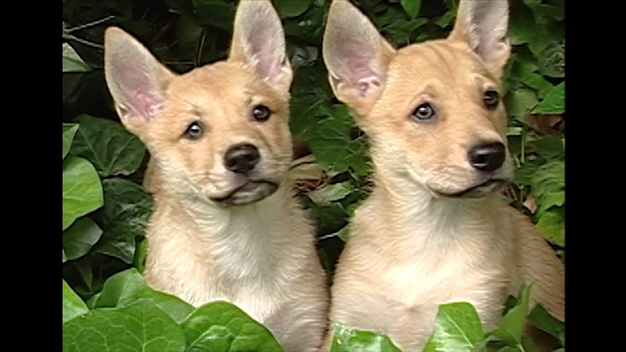 American Dingo Dogs For Sale