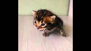 бенгальская кошка - питомник кошек Lantana Fly  - бенгальские котята