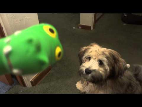 Havapoo (Havanese X Poodle Mix) Info, Temperament, Puppies, Pictures