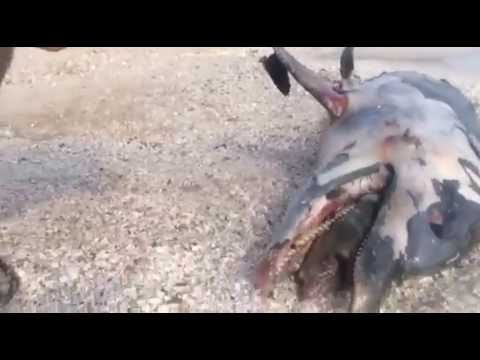 Dead Dolphin on Suez Canal's Beach, Egypt