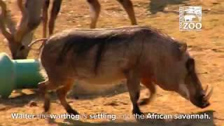 Warthog Walter Getting Use to New Friends in the Savannah - Cincinnati Zoo