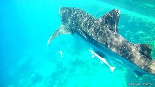 Китовая акула Шарм ель Шейх 11 2018