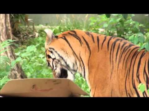 Zoo Stuttgart Wilhelma - Tigerfütterung *Dumai*