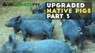 How to earn high income in native pigs or black pig | Upgraded native pigs part 3 #Agriculture