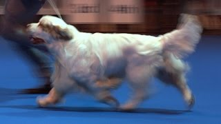 Ladies Kennel Association 2016 - Gundog group Shortlist