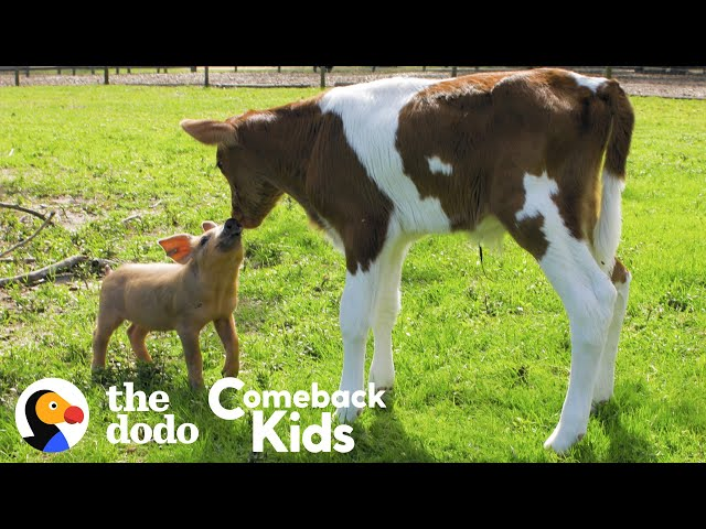 Tiny Piglet's Whole World Changes When She Meets This Baby Cow | The Dodo Comeback Kids