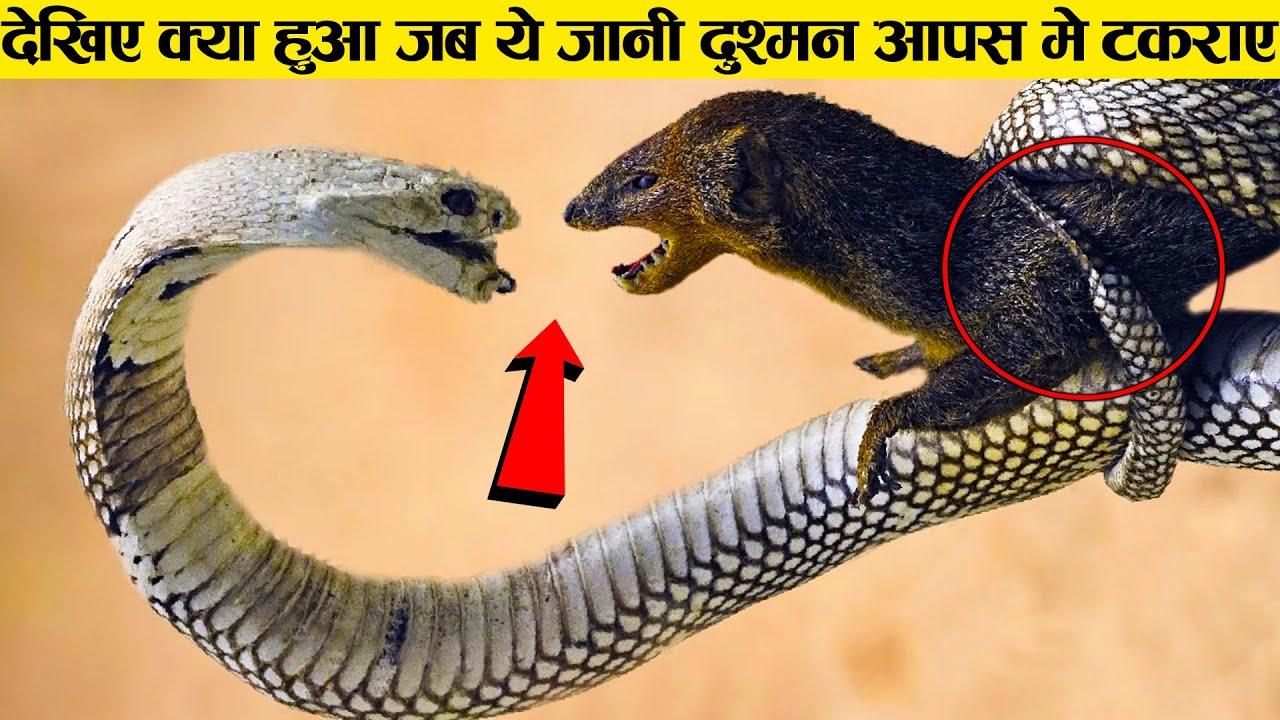 क्या हुआ जब सांप ओर नेवले की लड़ाई हुई ।। Snake vs mangoose - Who will win ?