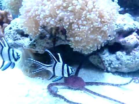 Starfish Eating And Assorted Fishes