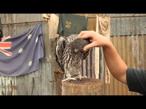A barking owl gets a scratch on the head