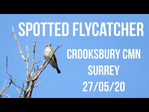 Spotted Flycatcher, Crooksbury Common 27/05/20