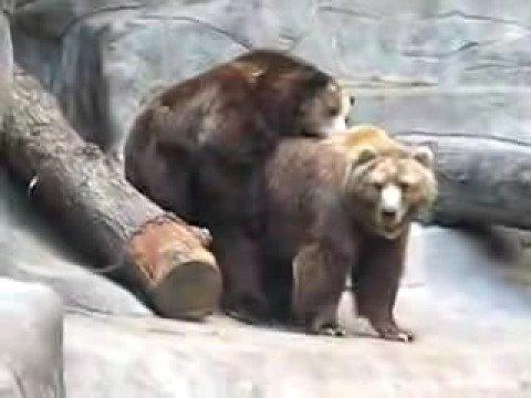 Cojiendo entre osos