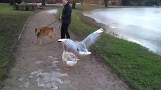 Злые гуси атакуют собаку