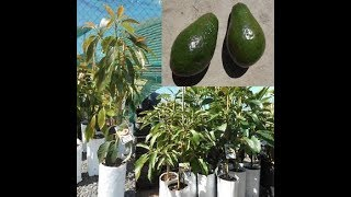 Enxerto em pé de abacate no vaso – Produzindo rápido