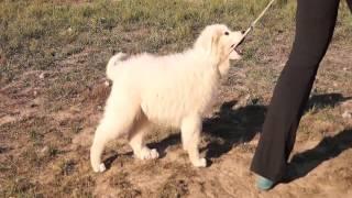 ЯКОГОР ШОМ АН БРИ 3 месяца (Пиренейская горная собака)