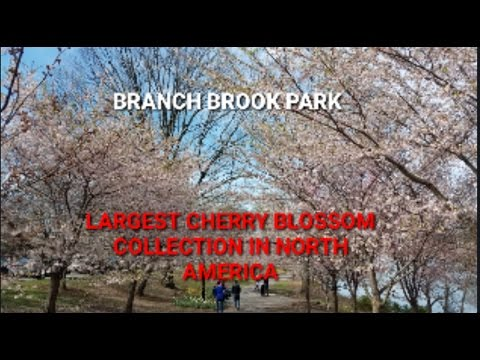 Branch Brook Park - The largest Cherry Blossom park in America