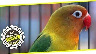 SUARA BURUNG : Kampret !! Lovebird Ngekek Panjang Juara Satu 7 Kali Di Kicaumania CUP IX