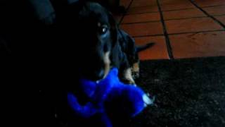 Dachshund Puppy Plays With His Octopus-toy