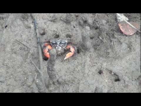 mud head mud crabs at bobbin head ku ring gai chase national park nsw