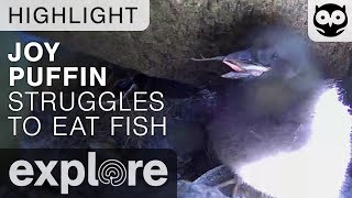 Joy Struggles to Eat Fish - Audubon Project Puffin - Live Cam Highlight thumbnail