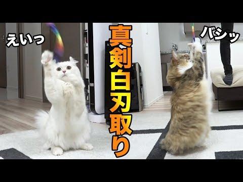両手をつかって遊ぶ猫が器用すぎるw