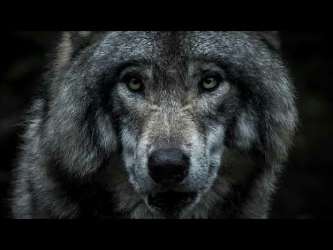 Download New tamil dubbed wolf movie