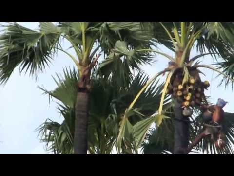 Toddy (Kallu) Collection On Palm Tree