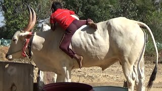 Super kid with white Hallikar Jallikattu ox at kopagere near shoolagiri