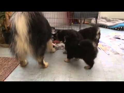 Slo-Mo Finnish Lapphund Puppy Tug