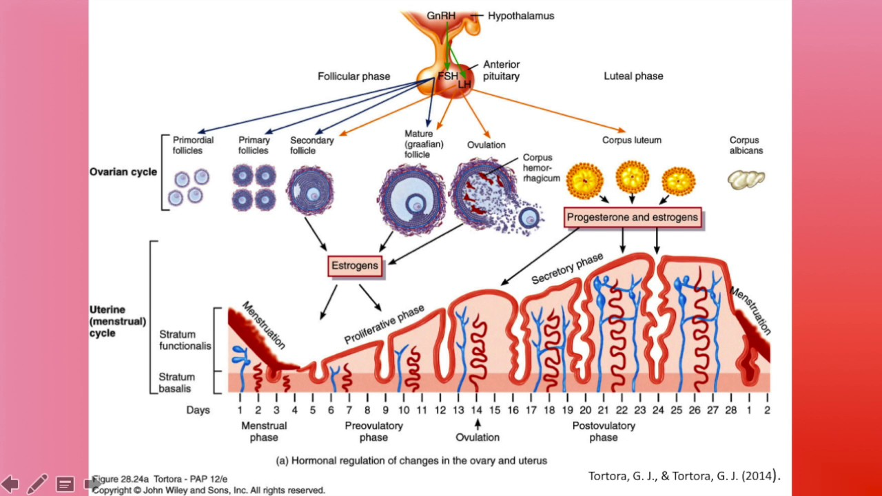 Female Reproductive Cycle - YouTube
