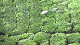 BOH Tea Plantation - Part 3