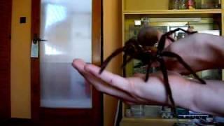 handling theraphosa apophysis(, 2010-01-27T10:55:30.000Z)