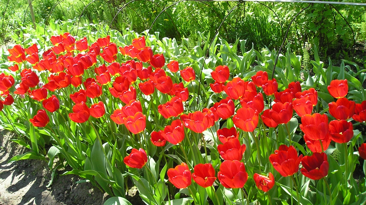 Как правильно посадить тюльпаны. Сайт sadovymir.ru - YouTube