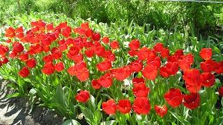 видео Правильная посадка тюльпанов