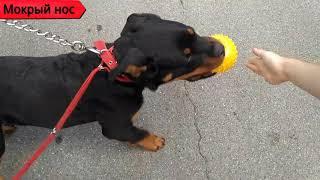 ЛУЧШИЙ способ отучить собаку ТЯНУТЬ поводок. Правильный выгул, коррекция поведения.