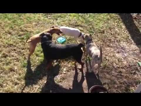 rottweiler pitbull mutts all playing together youtube