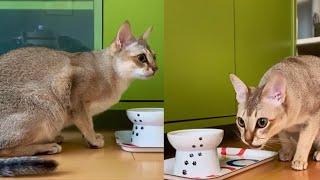 CUTE SINGAPURA CAT MOMENTS