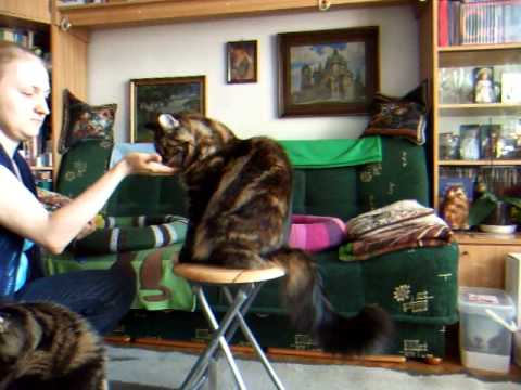 clicker trained maine coon