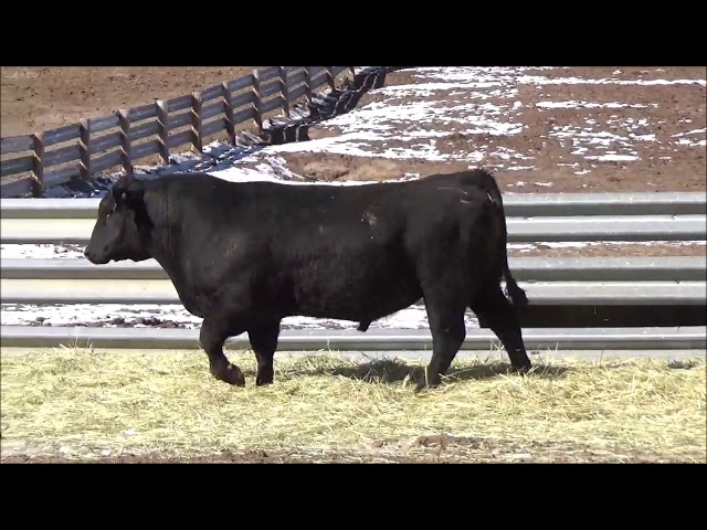 Connealy Angus Lot 472