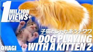 犬用ベッドでチワワ(ココ♀)と子猫(おはぎ)が仲良く遊んでいます。 S...