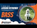 Bass: 2 Year Old Golden Retriever | Amazing Before and After | Northern Virginia Dog Trainers