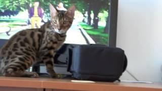 Прикольная кошка Ашера (Саванна)