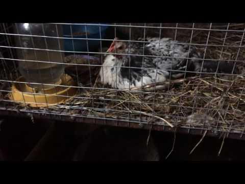 Курица не встаёт, что делать???