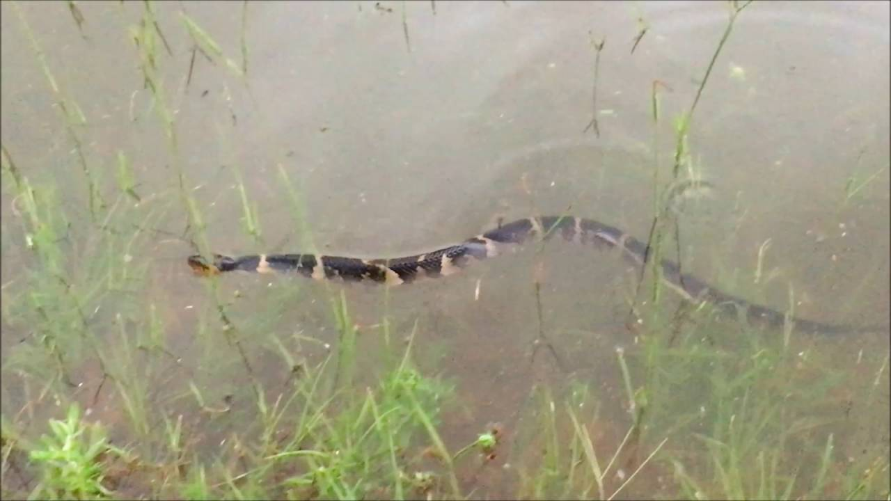 The Woodlands Texas Scary Snake Swimming After Flooding Youtube