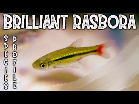 Brilliant Rasbora Species Profile