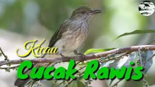 Download Mp3 Kicau Cucak Rawis Gacor Cocok Untuk Suara Pikat