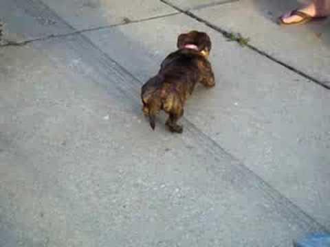 Bugsy the Dwarf Pit Bull !!!