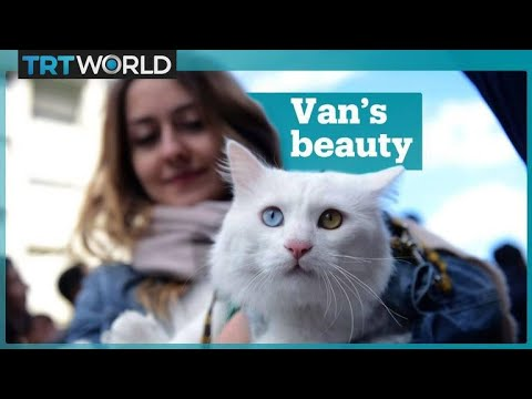 Cat beauty contest in Van, Turkey